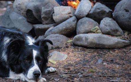 Hipotireoidismo Canino