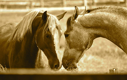 Laminite e Desregulação da Insulina nos Equinos