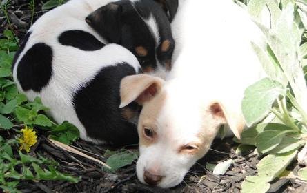 Síndrome do Ovário Remanescente Canino