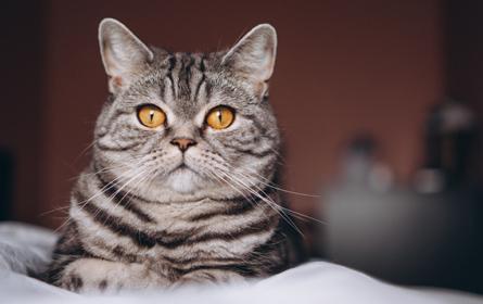 Síndrome do Ovário Remanescente Felino